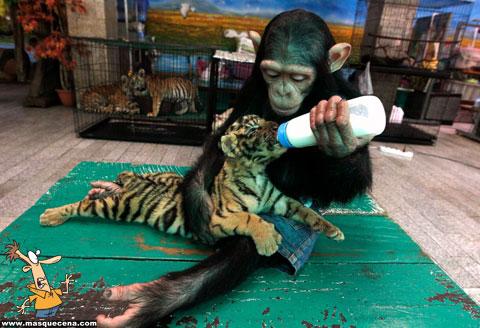 Macaco a dar leite a uma cria de tigre