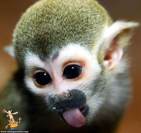 Foto engraçada da cara de um macaco