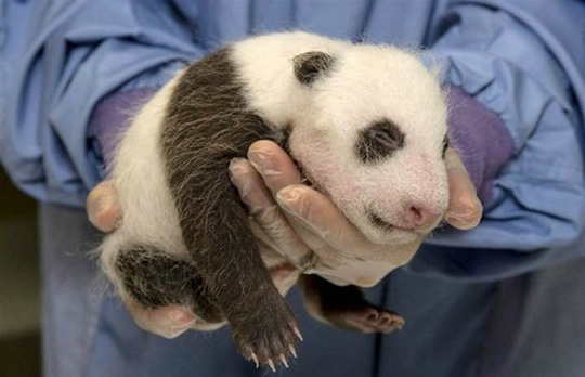 Pessoa a segurar um panda bebé com as mãos