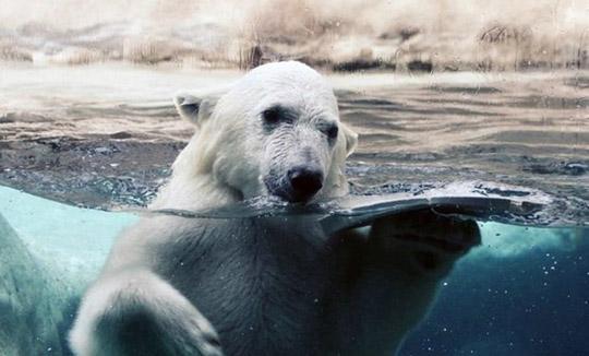 Urso polar a nadar