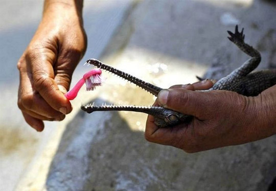 Pessoa a escovar os dentes de um pequeno crocodilo.