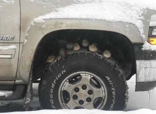 Pássaros a refugiar-se da neve no pneu de um carro